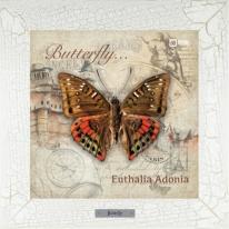 Euthalia Adonia картина бабочки  28х28 см