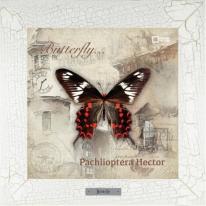 Pachlioptera Hector картина бабочки  28х28 см
