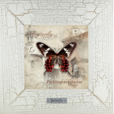 Pachlioptera Hector картина бабочки 18х18 см