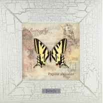 Papilio alexanor картина бабочки 18х18 см