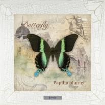 Papilio blumei картина бабочки 28х28 см